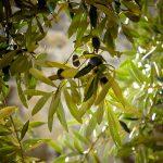 El 97% de los pueblos de Andalucía cuenta con superficie de olivar